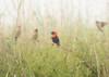 Charmers Get Caught (WarrenRaePhotography) Tags: africa morning warrenrae lover weaver bird birds redbishop mist quarrel