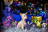 Happy New Year! (Dmitry_Pi) Tags: pixie dog relax portrait herbst autum badgoisern austria österreich russkiytoy pet toy animal innsbruck