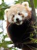 red panda Blijdorp BB2A1152 (j.a.kok) Tags: panda redpanda rodepanda kleinepanda china asia azie animal blijdorp mammal zoogdier dier
