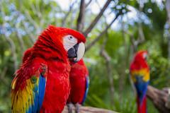 Mayan Macaw (aaronrhawkins) Tags: macaw parrot xelha mexico park perch still nature jungle tulum rivieramaya yucatan peninsula tropical vacation aaronhawkins bright colorful color