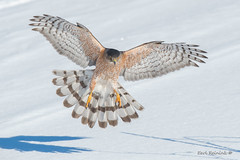 Full flair (Earl Reinink) Tags: bird animal raptor winter light wings eyes nature canada earl reinink earlreinink hawk coopershawk snow adzardadza
