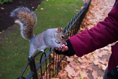 2017-12-02-0106 (Kevin Maschke) Tags: london fuji fujifilm fujifilmxt2 fujixt2 fujix city londoncity londonstreets squirell animal wildlife