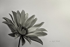 Just a still life ;) (Ralf_Budde) Tags: flickr ralfbudde flower monochrome blackandwhite blossom stilllife grain
