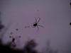 Jorō Spider (absoluteforecast) Tags: jorō spider web spinning nature murky black lines low light