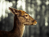 Grace... (davYd&s4rah) Tags: grace reh rotwild deer anmut grazie colorkey woods forest wald wildlife germany deutschland tree light bokeh portrait olympus m75mm f18 black white