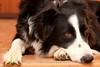 (Enllasez - Enric LLaó) Tags: perros perro gos gossos 2017 turbo mascotas mascota bordercollie