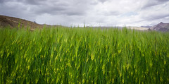 Green wheat field at the highland (phuong.sg@gmail.com) Tags: agricultural agriculture background beauty bright cereal closeup cluster crop cultivated eating environment farm farmland field food fresh grain grass green growth harvesting healthy landscape meadow morning natural nature organic outdoors plant rural season seed spring straw summer sunlight texture weather wheat