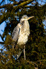 Young grey heron (thilfrey) Tags: heron reiher ardeacinerea graureiher fischreiher basel zoo