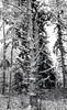 Fir Snag (Nicholas Lyle) Tags: fujifilm xpro1 snag fir snow woodland
