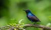 Purple Sunbird (ahmedezaz76) Tags: purple sunbird মৌটুসি পাখি wild wildbird natural outdoor beauty bangladesh
