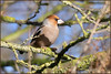 Hawfinch (image 1 of 2) (Full Moon Images) Tags: wimpole hall nt national trust cambridgeshire bird hawfinch
