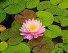 Waterlily Nymphea Pink on Green (1 of 1) (vern Ri) Tags: fleur flora fiori blumen bloom lily yellow pink green nikon d750 rain