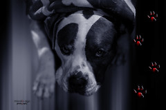it's cold ... out there (mariola aga) Tags: dog blanket cold warm closeup portrait pitbull winter art coth alittlebeauty coth5 thegalaxy