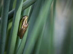 wedged (gnarlydog) Tags: frog australia animal refittedlens manualfocus bokeh shallowdepthoffield vintagelens closeup fzuiko32mmf17 abstract reeds green