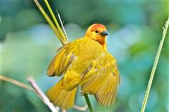 Golden Weaver (Ric Seet.) Tags: sony a9 100400gm golden weaver