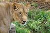 Checking On The Visitors (greekgal.esm) Tags: africanlion lion bigcat cat feline animal mammal carnivore lioncamp sandiegozoosafaripark sandiegozoo safaripark escondido sandiegozooglobal sdzglobal sdzsafaripark sony rx10m3 rx10iii