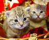 20171203_0493c (Fantasyfan.) Tags: yule european kitten breed christmas fantasyfanin