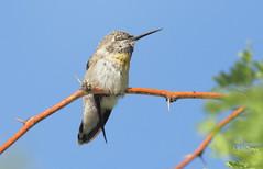 Dozing Anna's Hummingbird -- Female (Calypte anna); Catalina, AZ [Lou Feltz] (deserttoad) Tags: nature arizona bird wildbird songbird hummingbird desert flight flower bloom mesquite