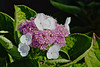 Ready to Blossom (iseedre) Tags: blossoms blooms leaves pink white green