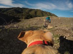 Flow-K (Wozza_NZ) Tags: flowk tunnelgulley kaitoke upperhutt wellington newzealand huttvalley bike biking trail singletrack traildog fetchmount gopro labrador spanador cycle cycling mtb mountaionbike mountainbike dog dogcam dogpov