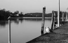 IMG_1534-4 (TessAnjel) Tags: suisse swiss switzerland road trip voyage hiver winter 2017 photography picture photo portrait paysage nature reflex canon eos 700d objectif lens 50mm 18 oiseau mouette animal animalier seagull black white noir et blanc