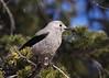 Clark's Nutcracker... #5 (Guy Lichter Photography - 3.7M views Thank you) Tags: clarksnutcracker canon 50d canada alberta banffnationalpark lakelousie wildlife animals birds