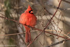 Fluffed Out for the Deep Freeze (rdroniuk) Tags: birds smallbirds passerines cardinal northerncardinal cardinaliscardinalis oiseaux passereaux cardinalrouge