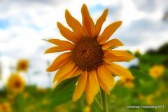 Restsonne (grafenhans) Tags: sony alpha 68 a68 alpha68 tamron 281750 sonnenblumen farben color bokeh grafenwald bottrop nrw blumen blüte