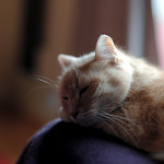 Felis silvestris catus thumbnail