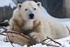 Polar Bear 93 (cypher40k Photography) Tags: arctic bear color colour nikon polar polarbear toronto torontozoo zoo