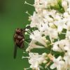 Vliegje (Geziena) Tags: vlieg insect macro closeup bloem bloeien olympus e3