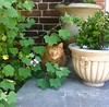 Cat on a step, Pasadena (india_snaps) Tags: usa california pasadena hidingcat tabbycat step flower flowerpots pets animal cat