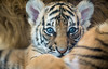 Baby Blues (larry fa) Tags: malayan tiger baby nikon d800 105mm blueeyes cub cincinnatizoo challengegamewinner
