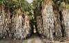 IMG_0952 Palm trees away  - Seen in Explore - 2018-01-08 # 171 (jaro-es) Tags: nature natura natur naturewatcher naturemaster naturesfinest palme palmeras palmentree españa eos70d canon costablanca washingtoniafilifera explore