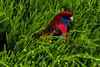 Rosella (Theresa Hall (teniche)) Tags: act anu australia australian australiannationaluniversity australianbush australiannative australianwildlife canberra nikkor2485 nikond750 rosella teniche theresa theresahall bird birdeating blue bush eating feedingtime food native nativebird red wild wildlife