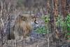 Flehmening Lion (cirdantravels (Fons Buts)) Tags: panthera felidae carnivora carnivore felid bigcat lion leeuw löwe kafue kaingusafarilodge leo feliformia