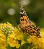 Painted Lady Butterfly (m&em2009) Tags: butterfly insect painted lady flower lantana yellow colour nikon fantasticnature