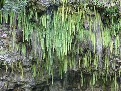 Wailua River State Park - Fern Grotto (22) (pensivelaw1) Tags: hawaii kauai wailuariverstatepark ferngrotto
