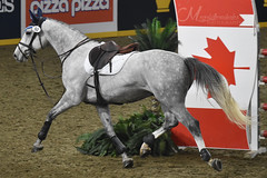 Centex (OrcaTwins) Tags: megakillerwales horse horses equine equestrian show barn stall eventing royal royalhorseshow royalwinterfair dressage hunterjumping agriculture cow cows rder riders equiestrian englishpleasure englishriding western westernriding racing barrel breyer breyers breyerfest breyerhorse breyermodel horsephotography animal animals animalcloseups animalphotography wildlife wildlifephotography planet earth nature world sand nikon nikond3400 zookeeper zoo zebra zebras przewalski'shorse 2017 canada fall clydesdale clydesdales shire shires cavalia odessy showjumping jumping models bbcearth bbcnature animalplanet discoverychannel disneynature nationalgeaographic photography photo thoroughbred