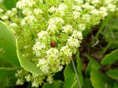 Hard at work (jo.elphick) Tags: northhead moruya nsw australia beach green nativeplant ladybug