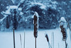 Thawing Out (Matt Champlin) Tags: monday freezing frozen cold winter snow cattails snowing arctic january blue home skaneateles canon 2018 januarythaw
