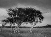 Shaped over time (jamesdewar99) Tags: argyll worn westcoast light nature distreessed tiredtreecountrysideblackwhite