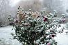 Winter is coming .... (Rick & Bart) Tags: winter snow garden tuin nature hasselt sintlambrechtsherk home rickvink rickbart canon eos70d flowers