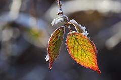 Vieillissement harmonieux ! (rocailles) Tags: ngc proxy macro vieillissement icing ageing givre winter hiver color couleur ronce feuille leaf bramble
