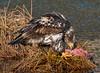salmon feast (wesleybarr1962) Tags: eagle juvenile salmon eating haliaeetusleucocephalus