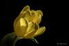 Yellow tulip (Magda Banach) Tags: canon yellowtulip colors flora flower macro nature plants poland tulip yellow