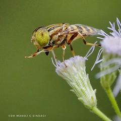 Spotted eye drone fly. (MCSindagi) Tags: sony sonyrx10iv sonyrx10mk4 sonyindia sonyrx10 rx10iv rx10m4 rx10 macro closeups bangalore bengaluru hoverfly spottedeyedronefly karnataka eristalinus dronefly