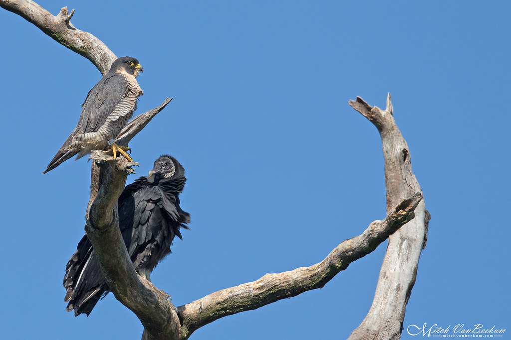 The Odd Couple (Peregrine Falcon & Black Vulture)