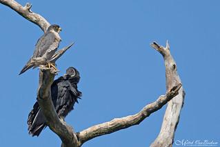 The Odd Couple (Peregrine Falcon & Black Vulture)