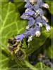 bee at work (Heinze Detlef) Tags: bienen honig insekten tiere blüten fühler lavendel fliegen flügelmakro macro bee